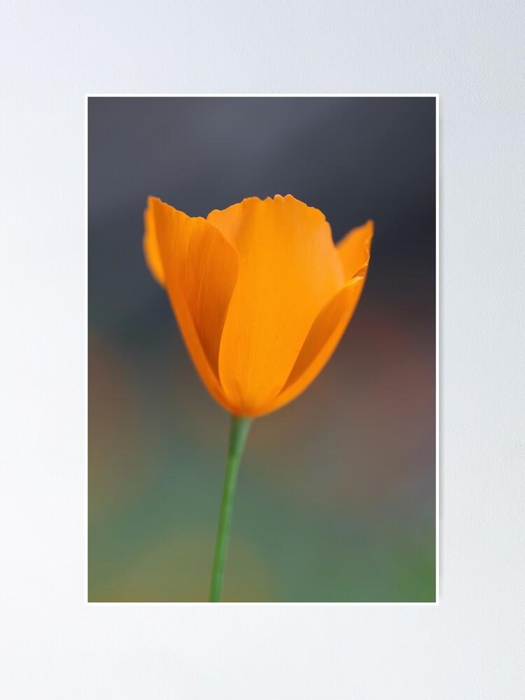 Alternate view of Tufted Poppy Poster