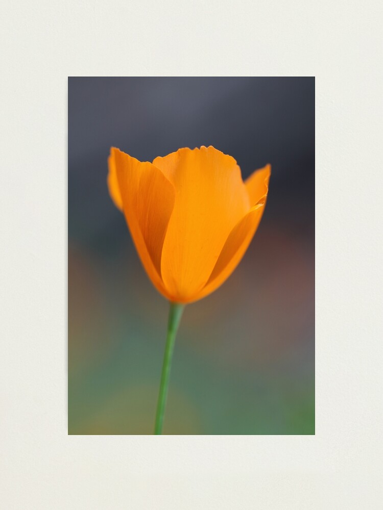 Alternate view of Tufted Poppy Photographic Print