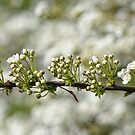 Blossom by Lifeware