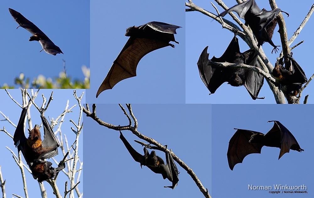 Flying Fox by Norman Winkworth