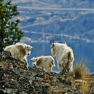 Mountain Goats Up Close 2 by Michael Garson