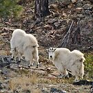 Mountain Goats Watching Us 2 by Michael Garson