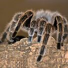 Spider by hary60