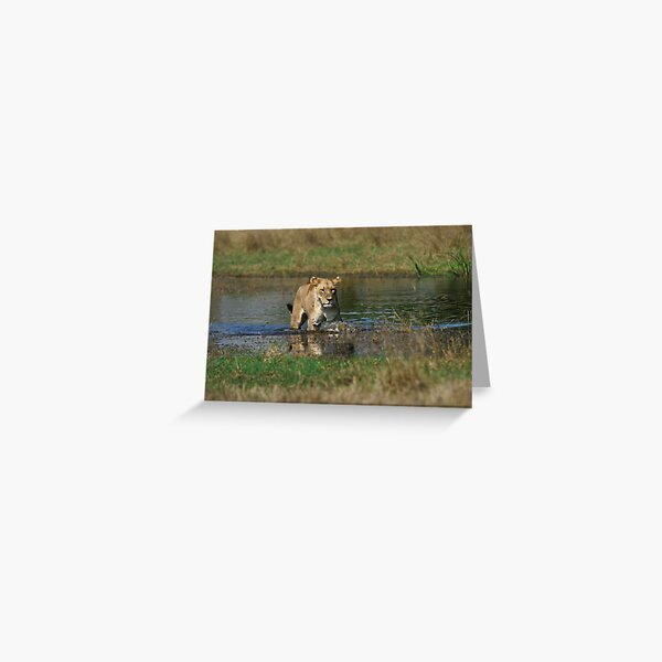 Lioness on the prowl Greeting Card