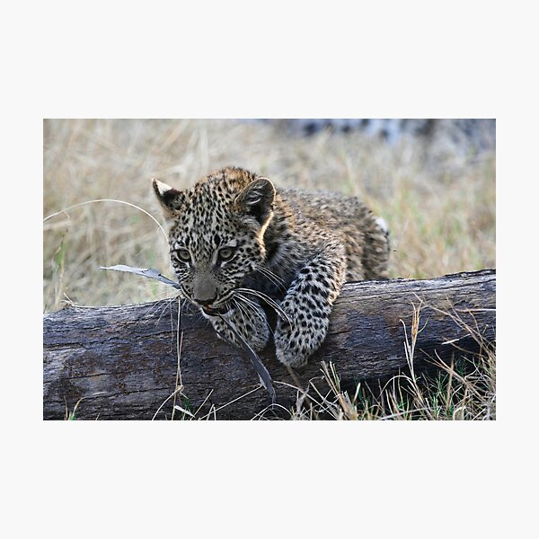 Leopard Cub Playing Photographic Print