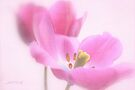 Pink tulip 1 by aMOONy