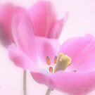 Pink tulip 1 by aMOONy