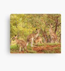 Eastern Grey Kangaroos Canvas Print