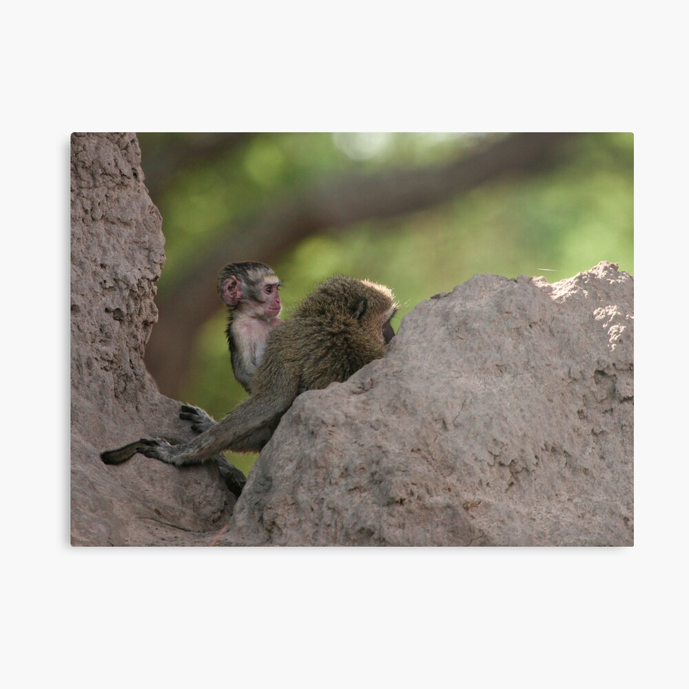 Vervet Monkey's on the look out Metal Print