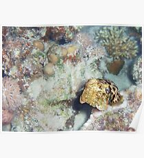 Baby Cuttlefish and Hard Coral Poster