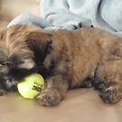 malti tzu puppy by jashumbert