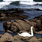 Sea Swans from Swansea by AndyReeve