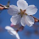 Blossom by Sophie Matthews