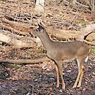 Whitetail Deer by Karl R. Martin