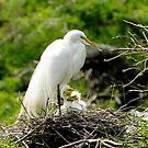 New Generation of Egrets by Joe Jennelle
