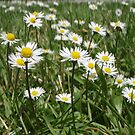 Daisies in St David's Park, Hobart by amgmcpherson
