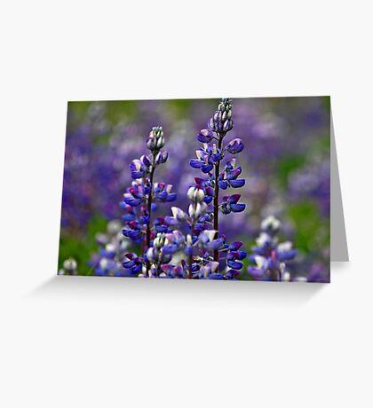 Alaska Lupine Greeting Card