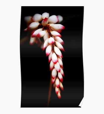 Tropicana - ginger flower in my Innisfail garden. Poster