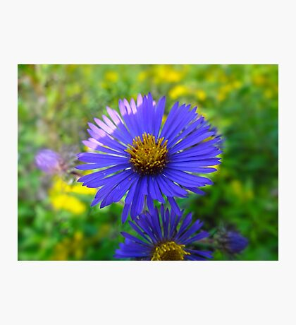 New England Aster Photographic Print