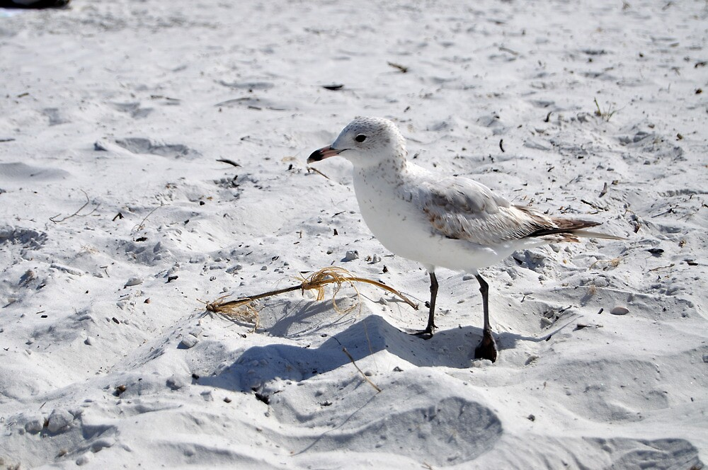 """Floridian Seagull """"Fort Myers Beach, Florida"""" by Hasiguntia"""