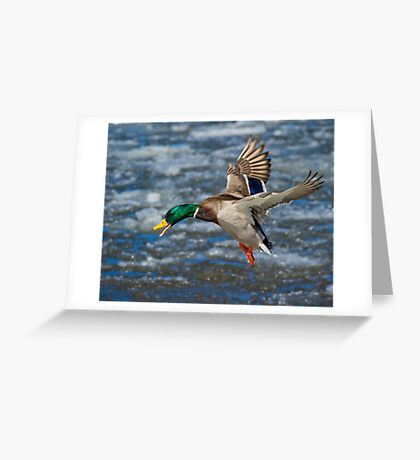 Mallard Drake in Flight Greeting Card