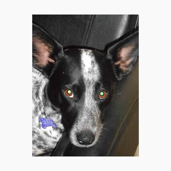 Black and White Dog Queensland Healer Photographic Print