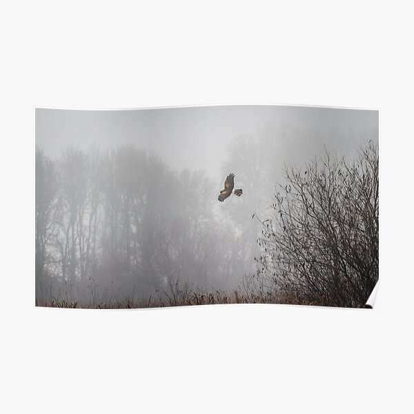Northern Harrier Hunting in Morning Fog Poster