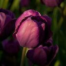 Purple Tulip2 by Gregory Colvin