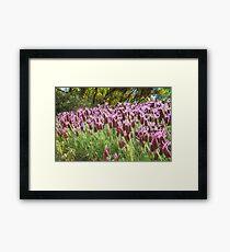 Lavender in Light Framed Print