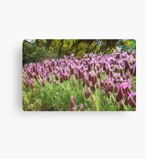 Lavender in Light Canvas Print