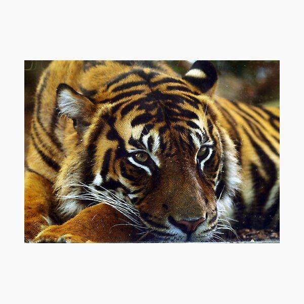 Tiger III Photographic Print