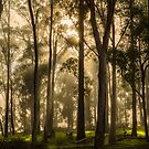 Morning Light through Trees by Chris Cobern