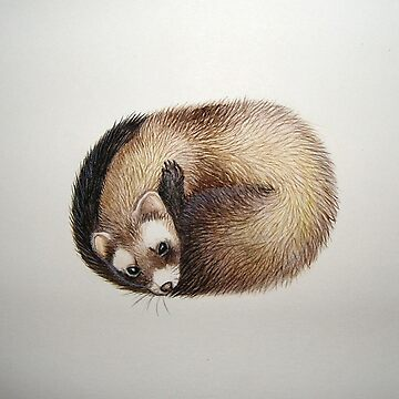 Curled Ferret by Polecatty