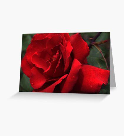 Roses in my garden - last summer Greeting Card