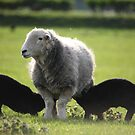 Black Lambs by Rich Gale