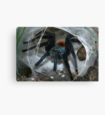 Greenbottle blue Tarantula (Chromatopelma cyaneopubescens) from ranforest in Venezuela. Canvas Print