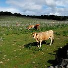 Cows grazing in a field full of flowers by Alessandra Antonini