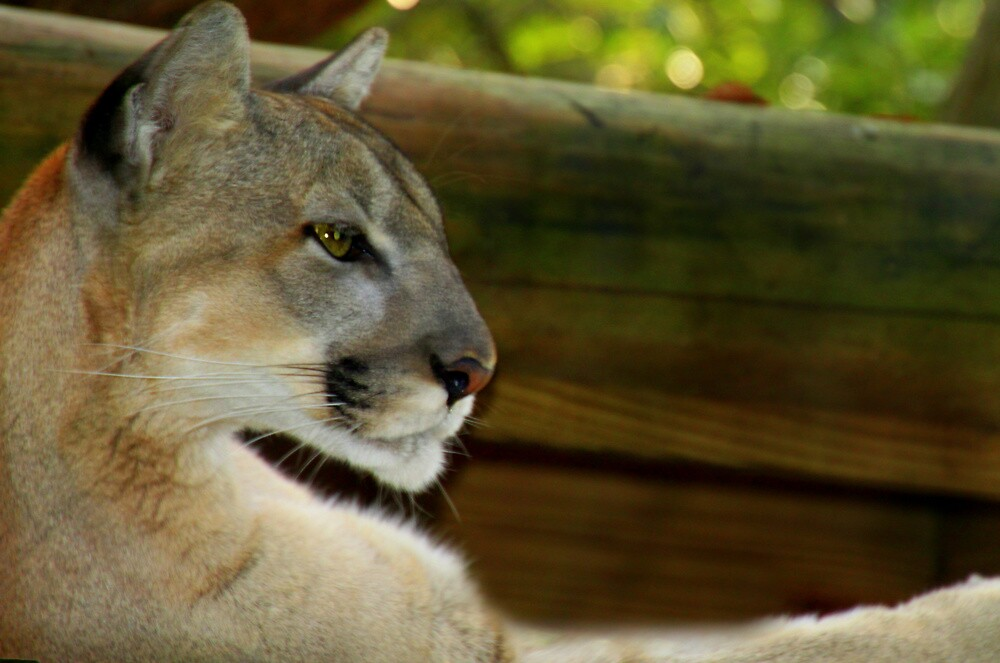 Florida Panther by mhm710