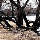 Willow trees along the Rideau River by Shulie1