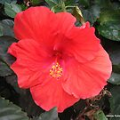 Hibiscus in Salmon by Debbie Robbins