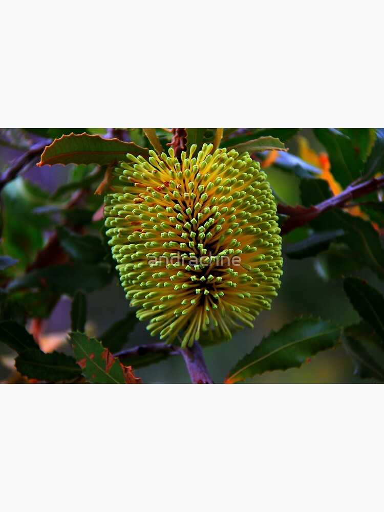 Banksia lemanniana by andrachne
