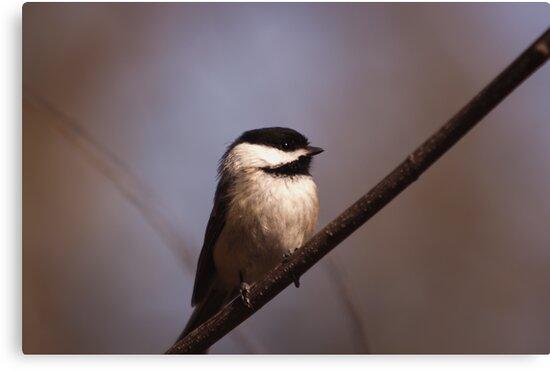 Chickadee - Ottawa, Ontario by Josef Pittner
