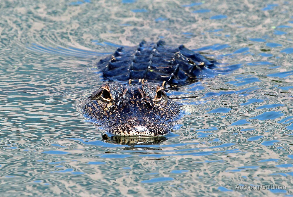 Wary gator! by Anthony Goldman