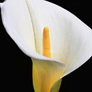 The Lily by Ann  Van Breemen