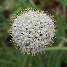 Allium seed head von 3Cavaliers