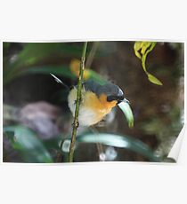Spectacled Monarch Poster