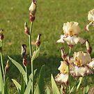 Iris Frenzy by Luann Gingras