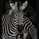 Nocturnal Zebra by MikeO
