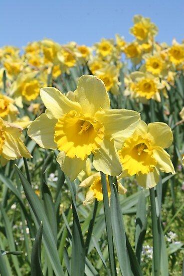 Daffodils by Jeanne Horak-Druiff
