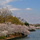 Cherry Blossoms in DC by mikepaulhamus